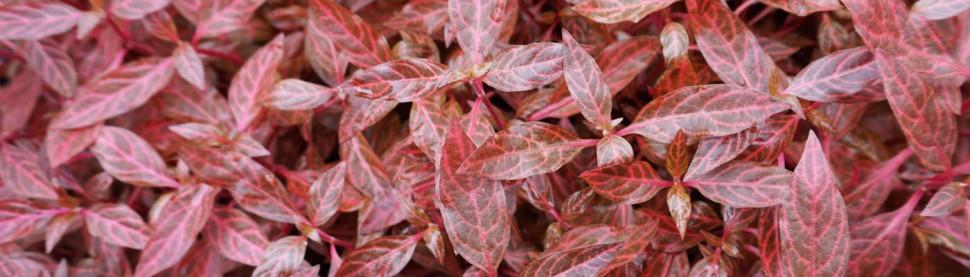 26 Alternanthera  reineckii Rosanervig group 1400x400.jpg
