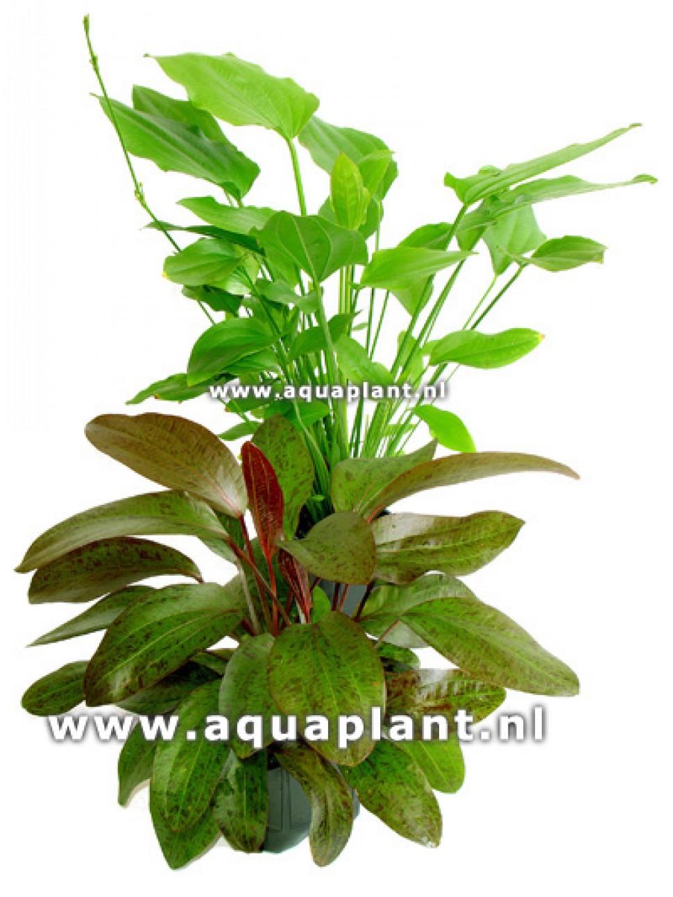 goed38 moederplant 4.jpg