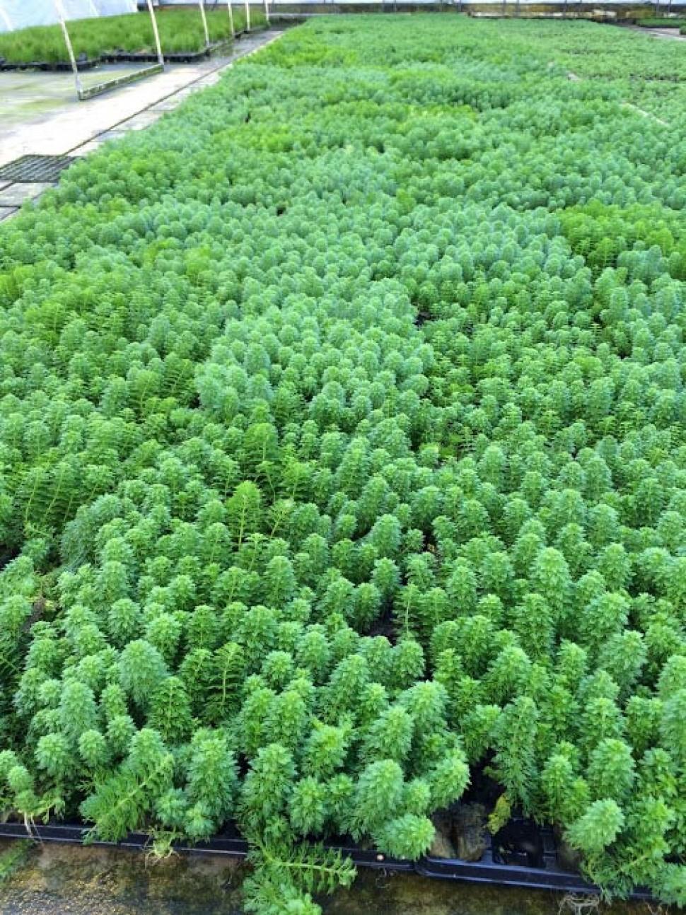 ambulia veld.jpg