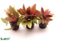 1001 Echinodorus Regine Hildebrandt B.jpg